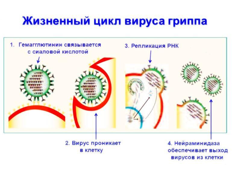 Репликация вируса гриппа