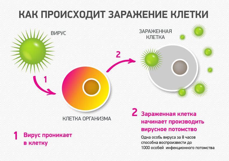 Последовательность заражения здоровых клеток