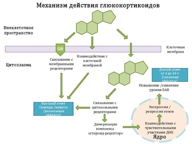 Механизм действия глюкокортикостероидов