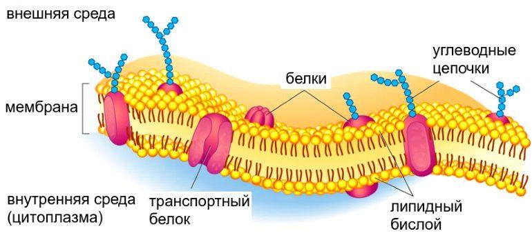 Защитная мембрана
