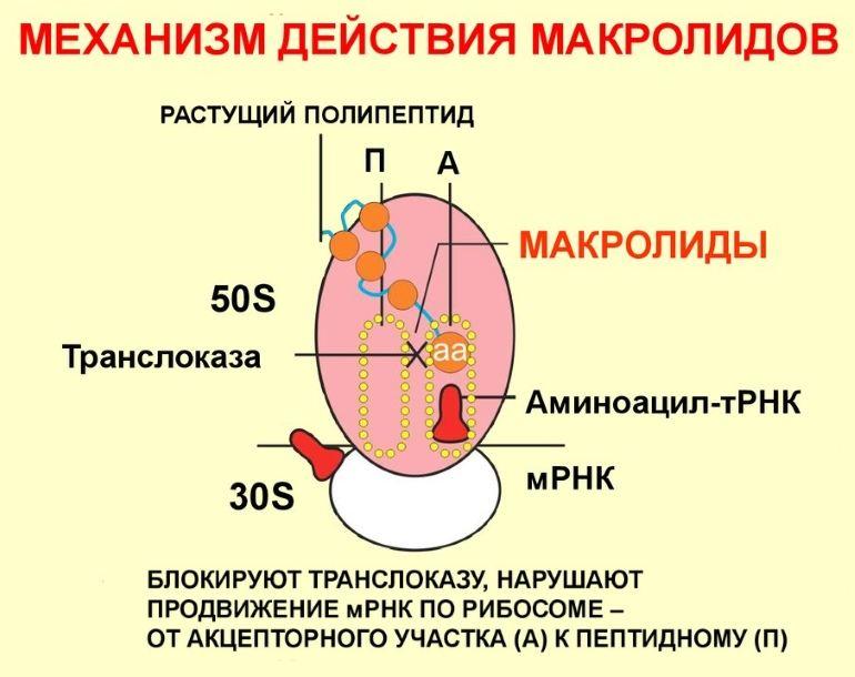 По какому принципу действуют макролиды