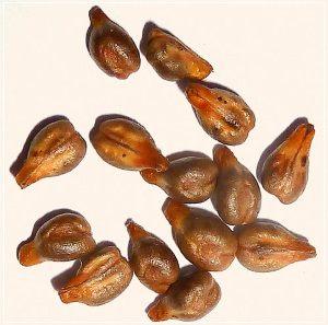 Полезные свойства и состав масла виноградных косточек