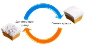 Мазь Артро-Актив активизирует процессы регенерации хряща
